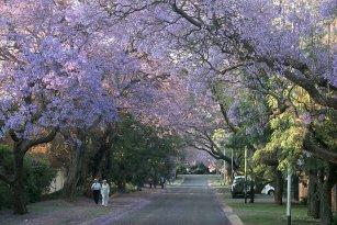 Jacarandas Bleus En Fleurs Pretoria Afrique Du Sud Photos